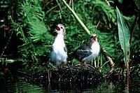 Trauerseeschwalbe Chlidonias niger Jungvogel KükenNest