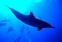 Spinner dolphins (Stenella longirostris) underwater, one closeup V1-95  B1876