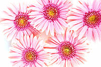 Closeup of pink daisies set together on white background studio shot