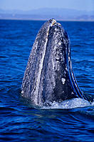 Mexico closeup head of gray whale spyhopping, land blurry bkgd (Eschrichtius robustus) distant San Ignacio Lagoon