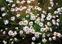 False Chamomile (Tripleurospermum maritimum)