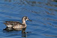 Blue-winged Teal (Anas discors). California. USA