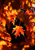 Autumn leaves on the sugar maple tree (Acer saccharum).
