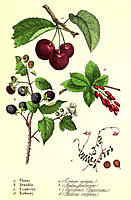 Fruit. Historical artwork of the edible fruits of various trees. These are the cherry (Prunus sp., upper centre), blackberry (Rubus fruticosus, centre...