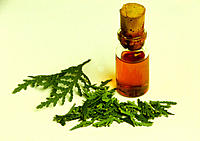 White cedar leaves (Thuja occidentalis) next to a bottle of herbal medicine. The leaves of the white cedar tree are believed to have insecticidal and ...