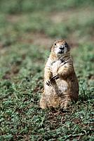 Black-tailed Prairie Dog (Cynomys ludovicianus). Wichita Mountains Natural Wildlife Refuge. Oklahoma. USA