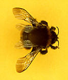 Bee (superfamily Apoidea). Bees feed on the nectar and pollen produced by flowering plants. They are important pollinators, carrying pollen between pl...