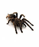 Tarantula (family Theraphosidae). Tarantulas are large, hairy spiders found in tropical and subtropical regions of the world. They mainly live on tree...