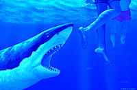Shark attack. Artwork of a great white shark (Carcharodon carcharias) attacking the legs of a bather. The great white is the largest of the flesh-eati...