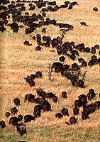 African buffalo (Syncerus caffer) herd moving across grasslands. The buffalo is a large herbivore which lives in vast herds of up to 2000 individuals,...