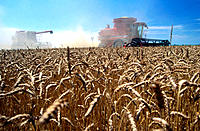 Combines working in wheat fields