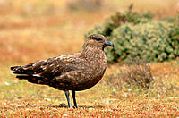 Great Skua (Catharacta skua). Falkland Islands