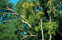 Tamarind trees (Tamarindus indica). Madagascar