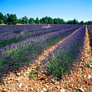 Lavender fields. Provence. France