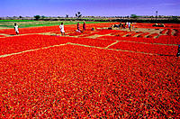 Chilli plantation. Rajasthan. India