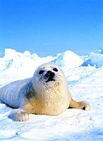 Harp Seal