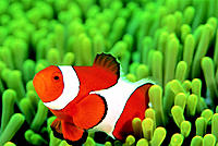 Crown anemone fish