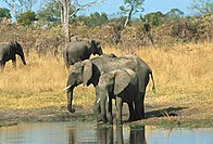 Three African Elephants with a calf standing in a field, Hwange National Park, Zimbabwe Loxodonta africana