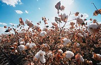 Pima cotton field