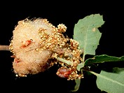 Andricus quercusramuli's gall or cotton gall in a Quercus faginea oak
