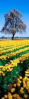 Tulip field (Tulipa ´Golden Apeldoorn´). Washington. USA