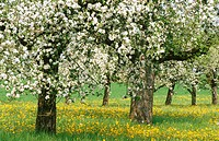 Apple trees in spring. Switzerland