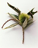 A sweet chestnut on a twig on white background