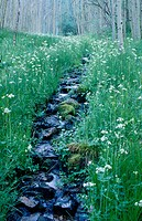 Small stream, flowers in a meadow and Aspen trees. Hyde Memorial State Park. Santa Fe. New Mexico. USA