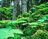 Sub alpine rainforest. Mount Robson Provincial Park. British Columbia. Canada