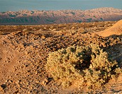 Desert Holly (Atriplex hymenelytra) and Panamint mountains at sunrise. Death Valley NP. California. USA