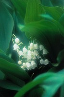 White Lily Of The Valleies