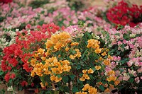Red Bougainvillea, Pink Bougainvillea, White Bougainvillea, Orange Bougainvillea