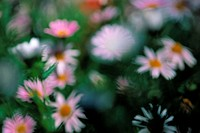Pink Marguerites, White Flowers
