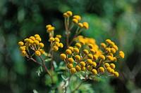 Yellow Feverfews