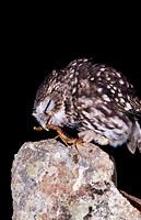 Little Owl (Athene noctua) eating a scorpion