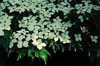 White Dogwoods