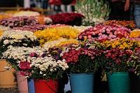 Multi Colour Chrysanthemum