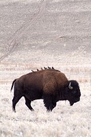 Brown bison