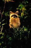 Raccoon (Procyon lotor)