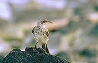 Hood (or Española) Mockingbird (Nesomimus macdonaldi). Española (Hood) Island. Galápagos Islands