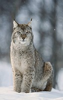 European Lynk (Felis lynx). Norway