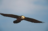 Bearded Vulture (Gypaetus barbatus). South Africa