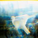 10635112, fluttering, peace, peace dust, impression, war, symbol, white, fence, pigeon,