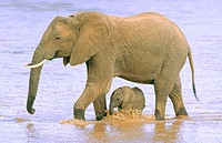 African Elephants (Loxodonta africana). Samburu National Reserve. Kenya