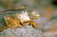 Land Iguana (Conolophus subcristatus). Galápagos Islands