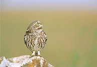 Little Owl (Athene noctua). Extremadura. Spain