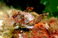 Long Spinned Sea Scorpion (Taurulus bubalis)