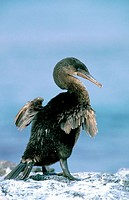 Flightless Cormorant (Nannopterum harrisi). Fernandina. Gal&#225;pagos Islands