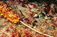 Sea Cucumber (Holothuria forskali)