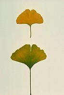 Ginkgo leaves. Two autumn leaves of the Chinese maidenhair tree, Ginkgo biloba. The tree produces two kinds of shoots, long shoots and short shoots. T...